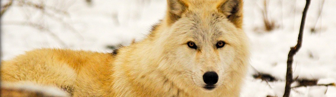 America's Gray Wolves: A Remarkable Comeback, But a Long Road to Recovery