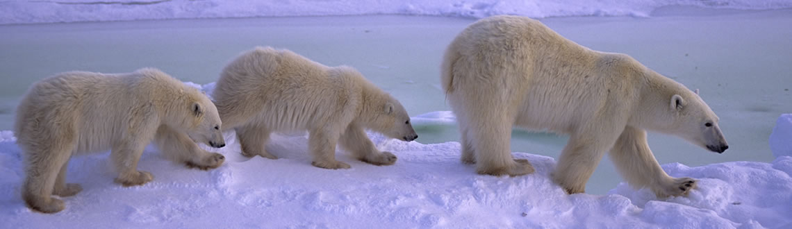 Everything that Could Often be The Polar Bear?