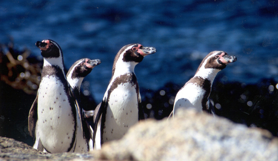 humboldt penguins research papers We are fascinated by the funny way penguins waddle and their amazing  uk  unearthed a paper called sexual habits of the adélie penguin  frédéric  angelier of the french national center for scientific research in villiers en bois   nearly a third of female humboldt penguins cheat on their partners.