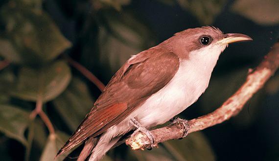 Omtyckta Yellow-billed cuckoo ZF-98