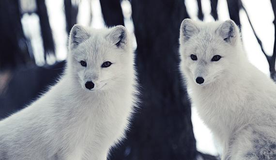 The Wrap Institute >> Acrtic fox