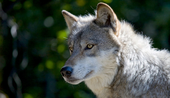 "grey wolf research paper Free gray wolf papers, essays, and research papers  help stop the extinction  the grey wolf's, canis lupus (""animal fact guide""), habitat can currently be."