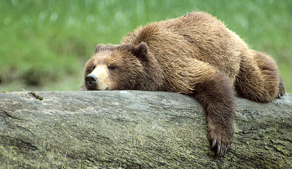 Grizzly Bears Are The Largest Omnivores In North America During Summer Months They Must Eat Enough To Store The Huge Amounts Of Fat Needed To Support Them