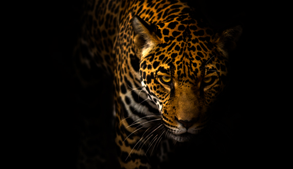 The Jaguar Is Largest Cat In Western Hemisphere