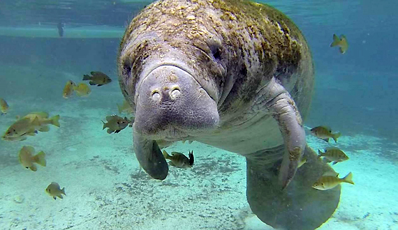 a paper on the plight of the manatee Manatee fact sheet status: endangered description: manatees range in color from gray to brown they use their two small front flippers to.