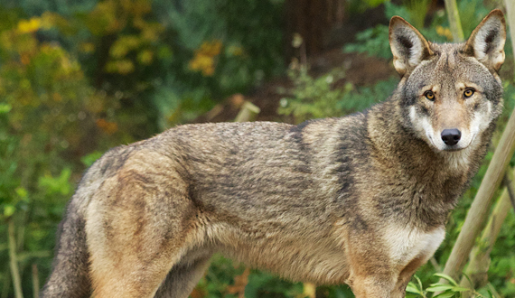 a history of the species canis rufus also knows as red wolf Fact, opinion, topic  will also help sharpen students  breeding programs and species survival plans are necessary to keep the red wolf (canis rufus).
