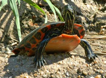 NorthernRed-BelliedCooter_JohnWhite_VirginiaHerpetologicalSociety.jpg