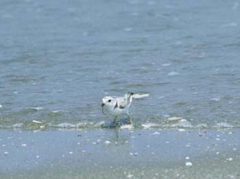 piping plover research paper For the past three years, i have been privileged to work with an  the piping  plover is a small, round-bodied shorebird, with a charming, big-eyed look   these questions need further study, especially considering that with.