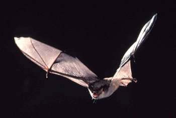 Why Is the Gray Bat Endangered?