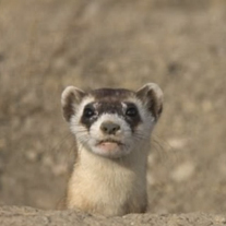 Black-footed ferret research paper