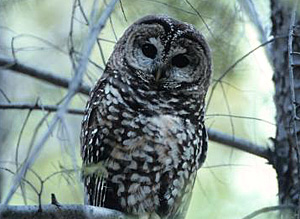 Mexican spotted owl by Robin Silver/Center for Biological Diversity