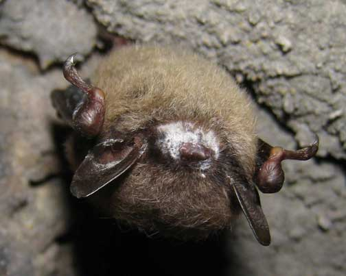 Little brown bat hibernating in West Virginia cave with white fungal ring around its muzzle, a symptom of white-nose syndrome. © 2009 by Craig W. Stihler, Ph.D., West Virginia Dept. of Natural Resources.