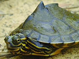 Lawsuit Filed To Protect Rare Turtle In Florida Georgia