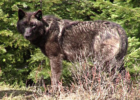 Imnaha Pack male wolf