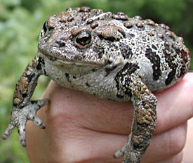 Lawsuit launched to speed federal protection for boreal toads boreal toad sciox Choice Image