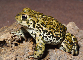New agreement will speed federal protection for boreal toads boreal toad sciox Choice Image
