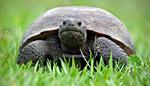 Eastern gopher turtle