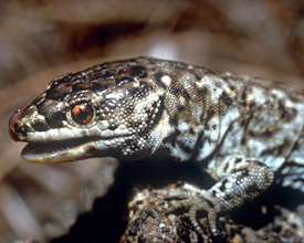 Island night lizard
