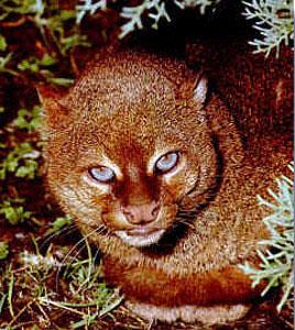 Gulf Coast jaguarundi