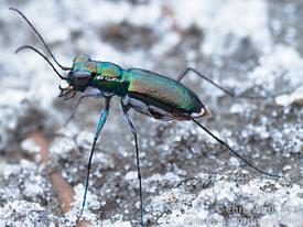 Miami tiger beetle