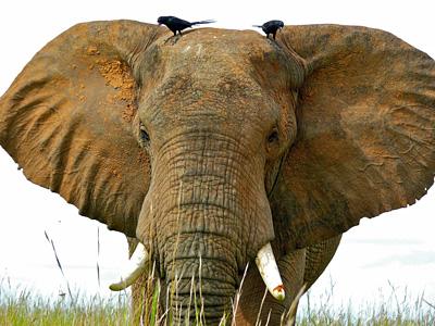 African savannah elephant