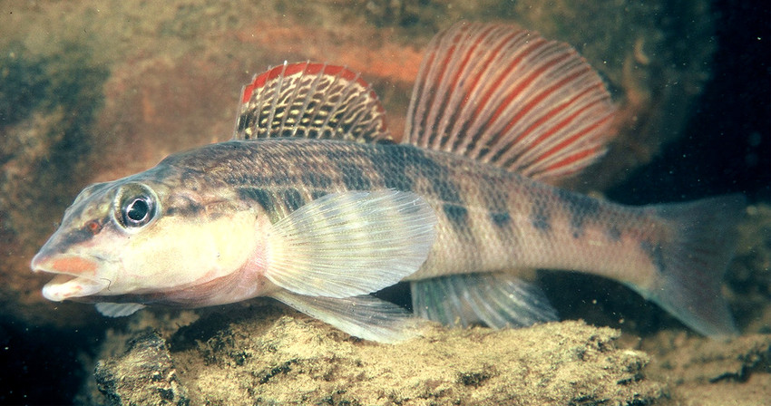 Seven freshwater species from nine southeastern states for Alabama freshwater fish