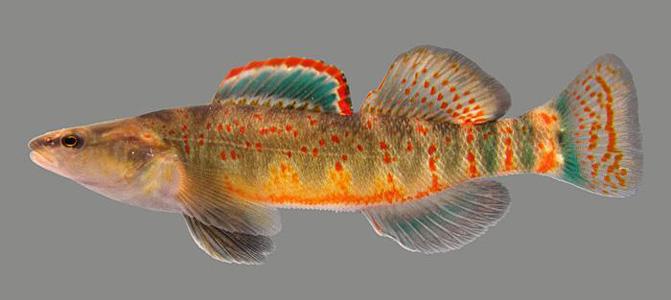 Kentucky arrow darter announcements nanfa forum for Ky dept fish and wildlife