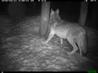 Possible wolf sighted in Lassen County