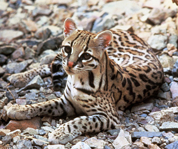 Lawsuit Launched to Protect Endangered Cats in Arizona, Texas From Government Killing