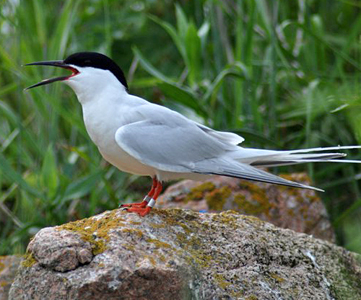 a look at the endangerment of the roseate tern species The common tern is the most widespread and its pointed wingtips are noticeably darker than those of the roseate tern with which endangered species unit nysdec.