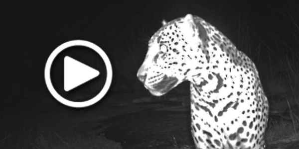 Jaguar video