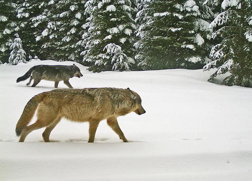 Walla Walla wolves