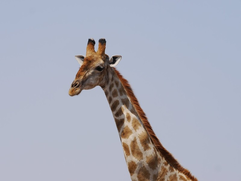 Lawsuit Launched To Push Trump Administration To Protect Giraffes From Extinction