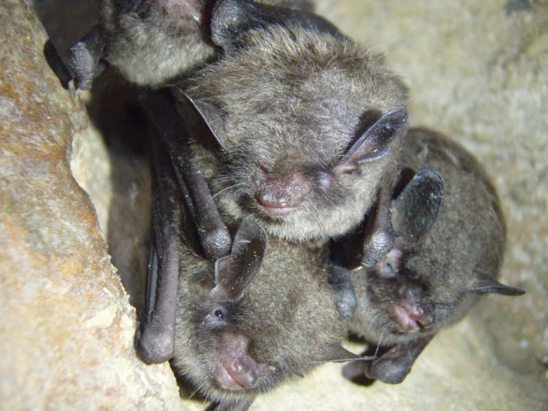 Indiana bats