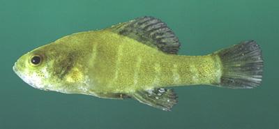 Spring pygmy sunfish