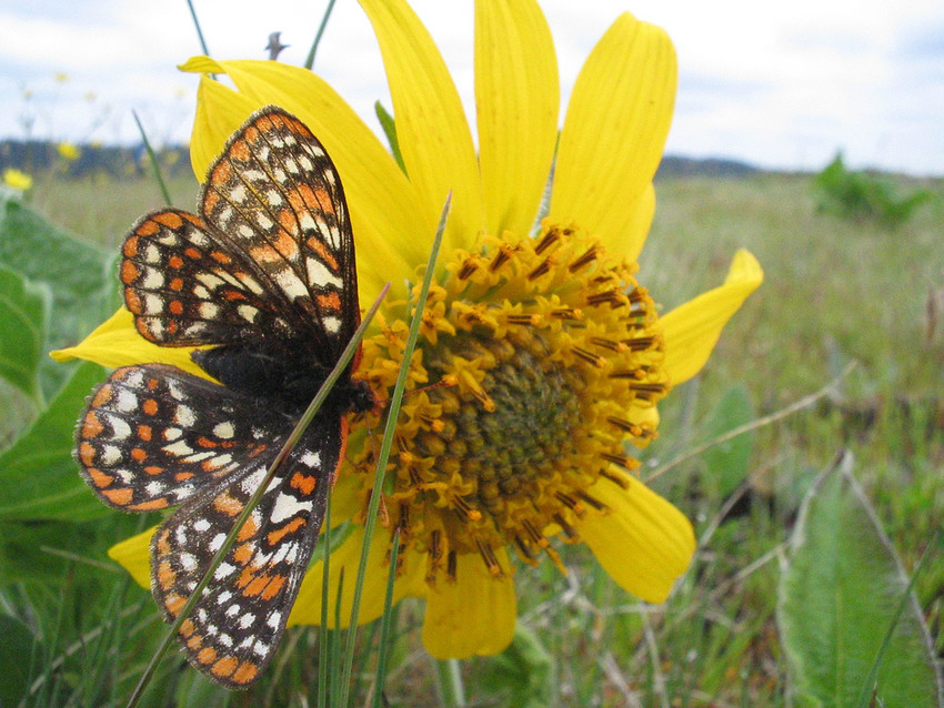 Taylor's CheckerspotButterfly
