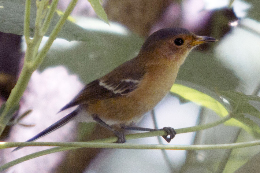 Tinian monarch