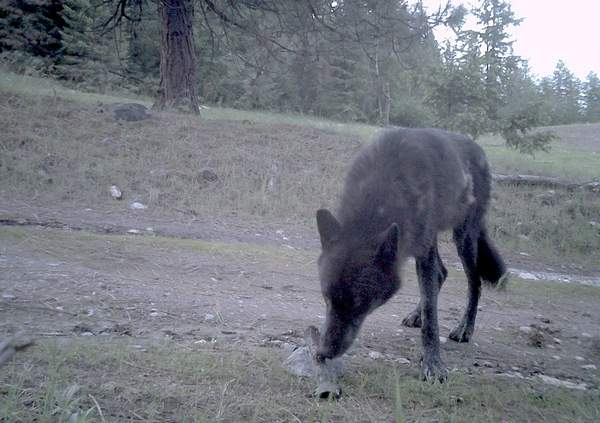 Togo wolf