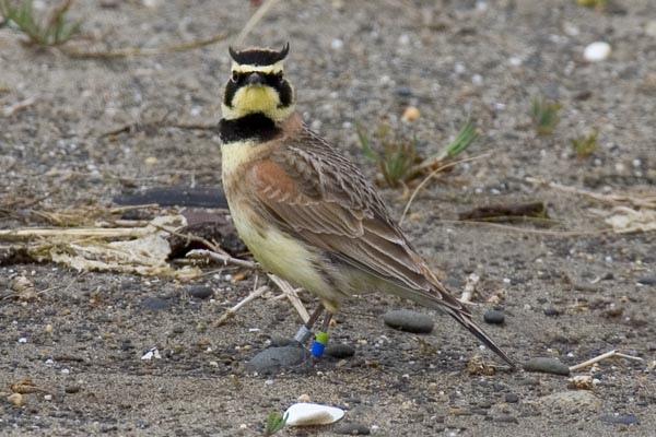 Streaked-horned lark