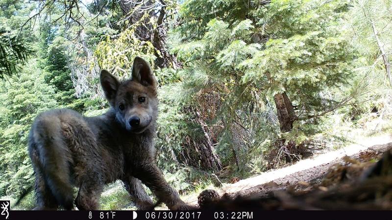 Lassen pack wolf pup