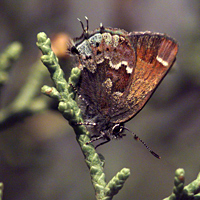 Thorne's hairstreak butterfly