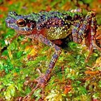 Borneo rainbow toad