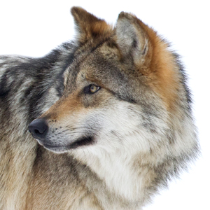 Troubling news out of Idaho this week: The U.S. Department of Agriculture's Wildlife Services is planning to send gunners in helicopters to start shooting wolves in the Lolo Elk Management Zone of the Clearwater National Forest.