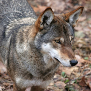 Endangered Earth: Welcome California's New Wolf Pups