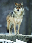 Gray_Wolf_Out_of_Chicago_Flickr_commons_FPWC.tif