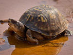 Eastern_Box_Turtle_Ken_Thomas__Wikimedia_Commons_FPWC.jpg
