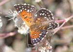 langes_metalmark_butterfly_USFWS_FPWC.jpg