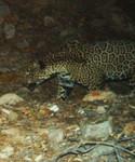 Jaguar_SantaRitas_USFWS.jpg