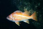 Canary_rockfish_Keith_Clements_NOAA_FPWC.jpg