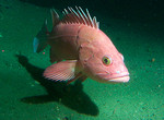 Yellow_eye_rockfish_Kip_Evans_NOAA_FPWC.jpg